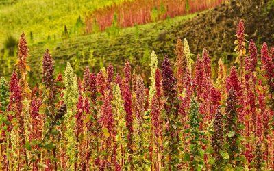 A Dubai quinoa, salicornia e altri superfood si coltivano nel deserto